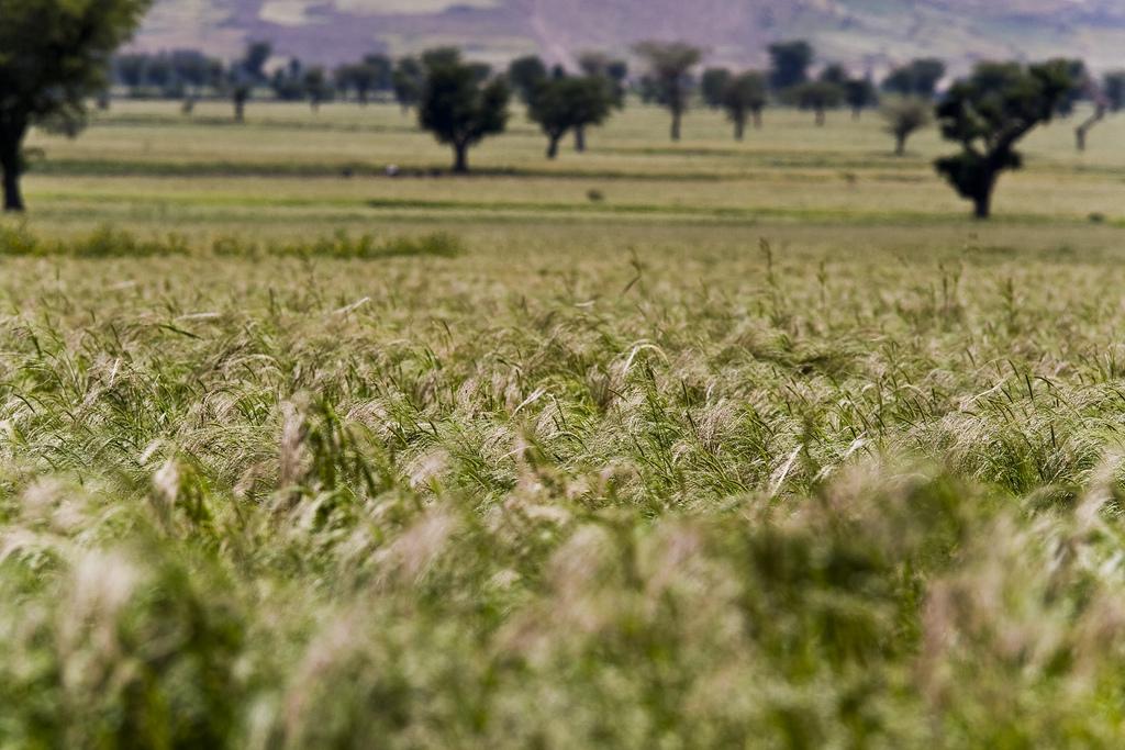 Fält med sädesslaget teff i Etiopien.